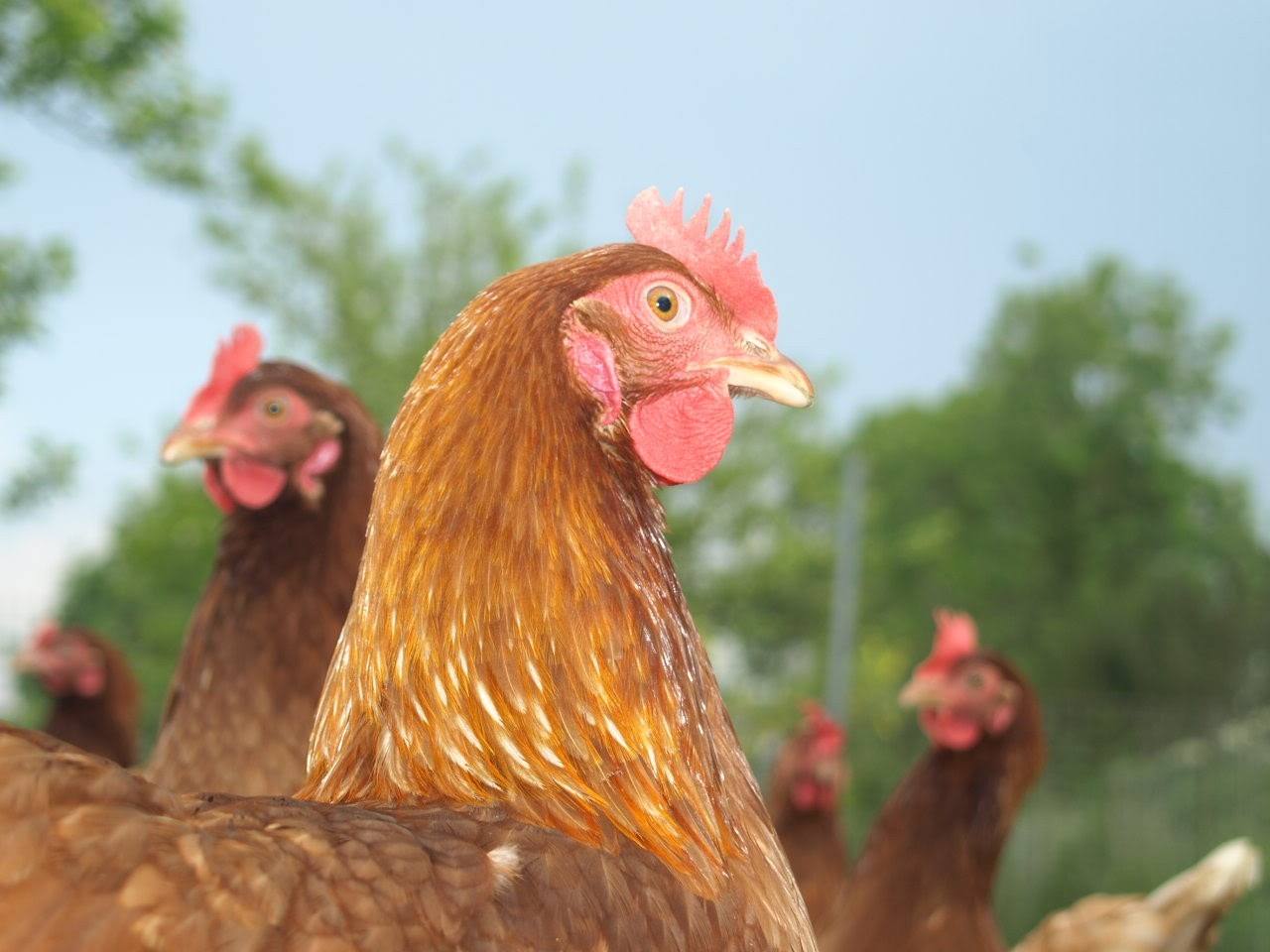 ferme-poules-normandie