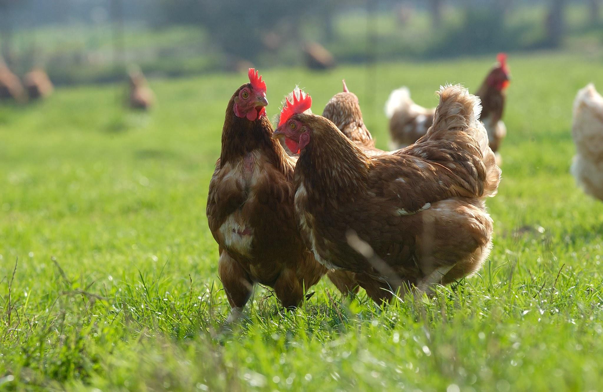 poules-brown-rural