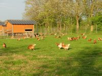 elevage-poules-sans-antibio