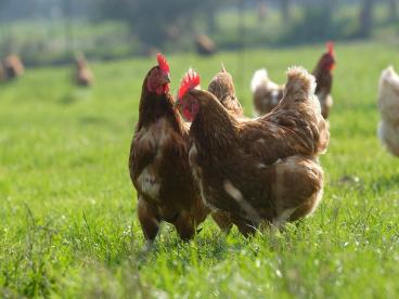poules-pondeuses-elevage-normandie